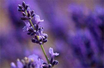 Lavandula-officinalis