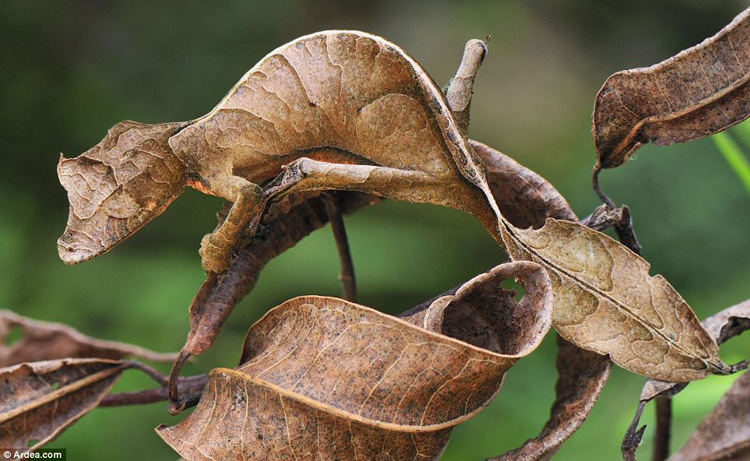 leaf tailed gecko